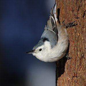 English: White-breasted Nuthatch (Sitta caroli...