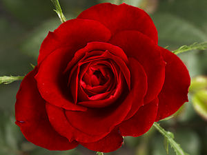 A Red Currie Rose