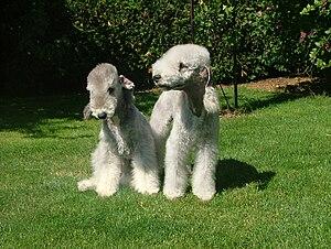 Français : Deux Bedlington Terriers en juillet...