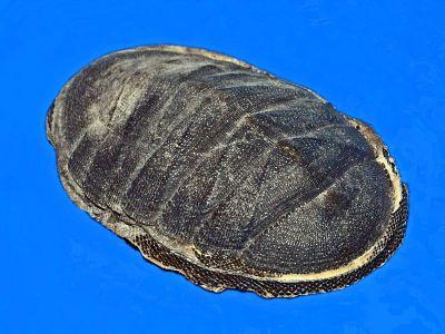 Chiton magnificus - Wikipedia