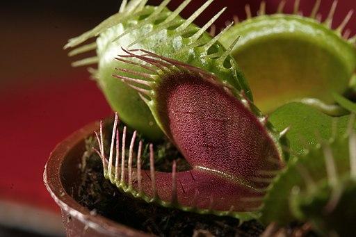 Dionaea muscipula trap