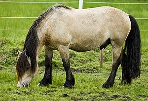 English: A buckskin Dole Gudbrandsdal horse &q...