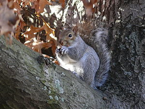 English: Gray squirrel in Boston, next to &quo...