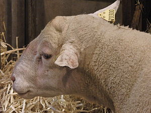 English: INRA 401 (Romane) sheep's head - Salo...