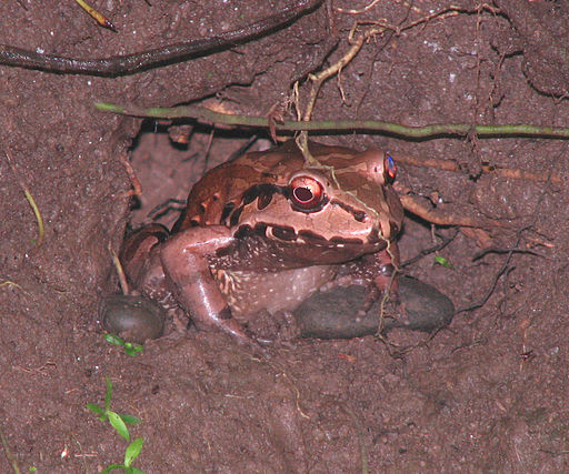 Mexican White-lipped Frog