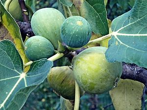 some figs