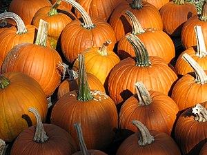 Pumpkins at a pumpkin patch in Geneseo, New York.