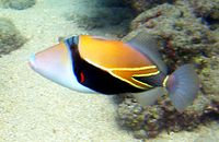 Reef Triggerfish 1.JPG