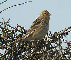 The Twite Finch
