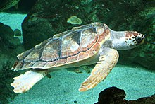 Photo of a loggerhead swimming above a reef.