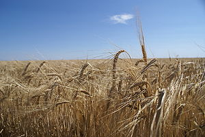English: Ears of barley in summer, ready to ha...