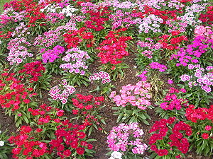 Flower garden sweet william plant (forgotten p...