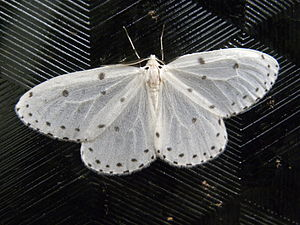 English: moth on a surface