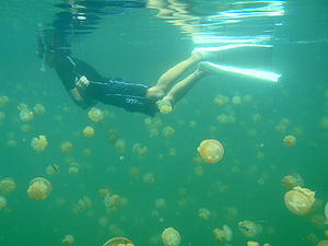 English: A swimmer in Jellyfish Lake, Palau.