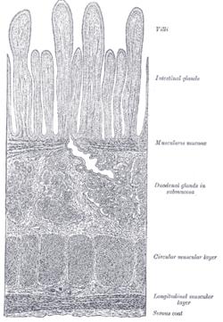 Muscularis mucosae  Wikipedia