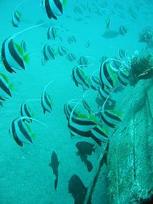 Butterflyfish Wikipedia