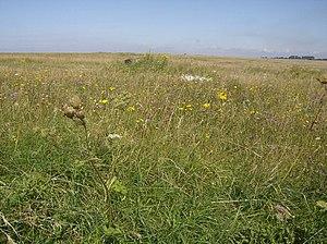 English: Summer Down, Imber Range Living up to...