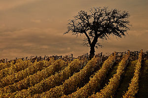 Vineyards in the Italian wine region of Tuscan...