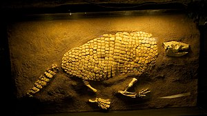 Giant Armadillo fossil found along Bray's Bayo...