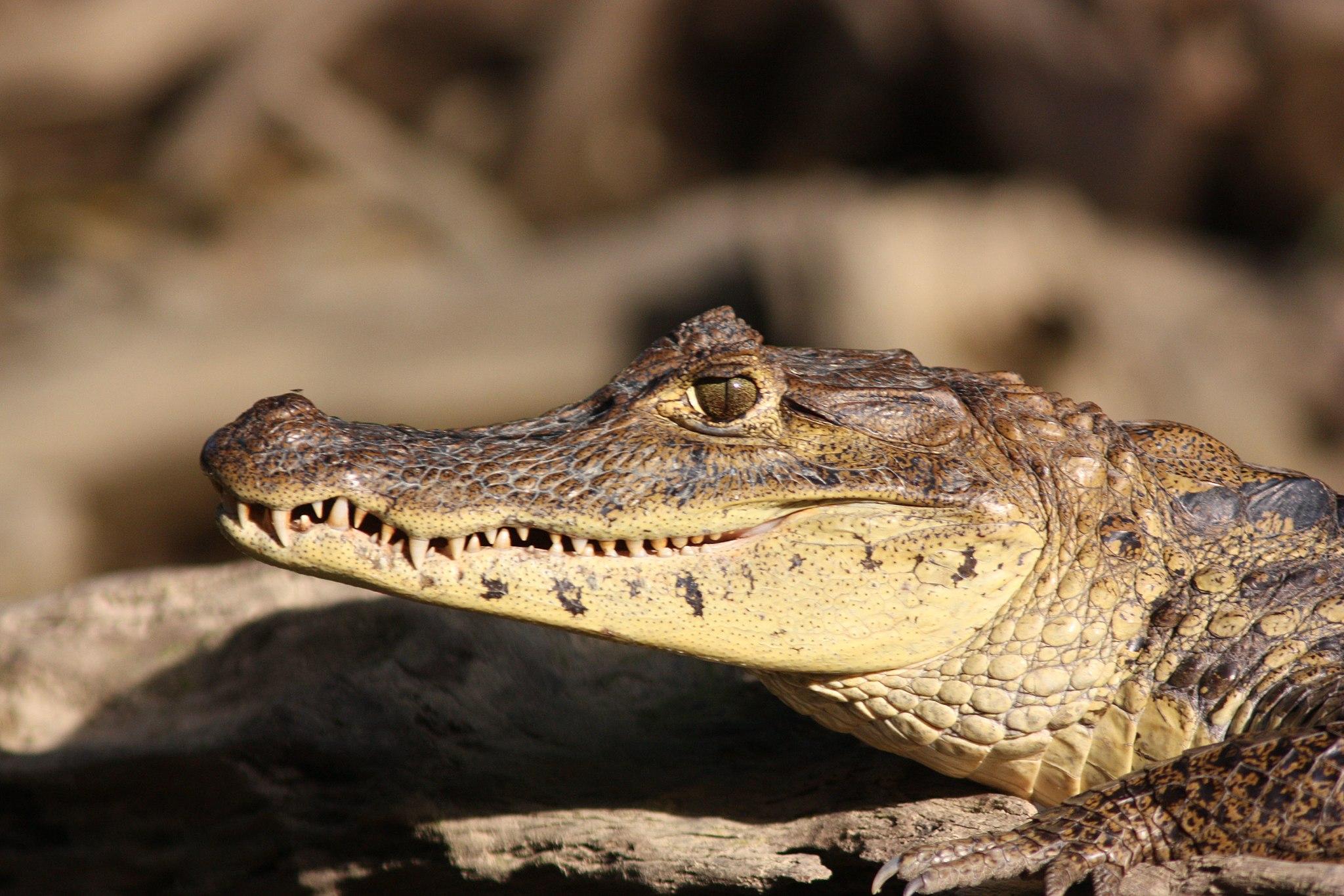 American crocodile Costa Rica