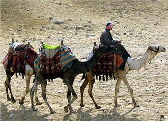 https://i2.wp.com/upload.wikimedia.org/wikipedia/commons/thumb/5/55/Camels_at_Giza.JPG/330px-Camels_at_Giza.JPG