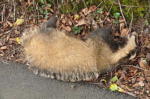 A dead badger (Meles meles), adjacent to the A...