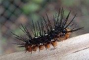 A Julia Butterfly Dryas julia caterpillar. And...