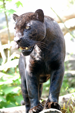 A Jaguar Black Panther