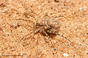 English: Female Wolf spider carrying her young...