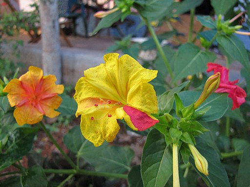 Mirabilis-jalapa-In-Different-Colors