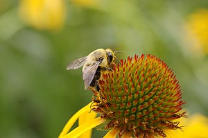 A bee on an Echinacea paradoxa head (infloresc...