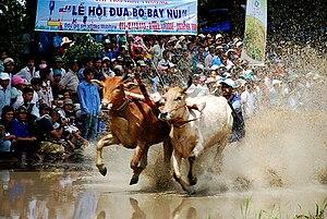 Lễ hội đua bò ở Bảy Núi, Tịnh Biên, An Giang.