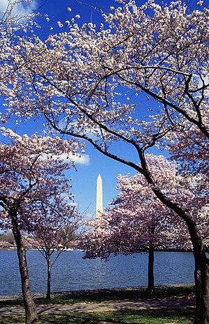 English: Japanese cherry trees (Sakura), a gif...