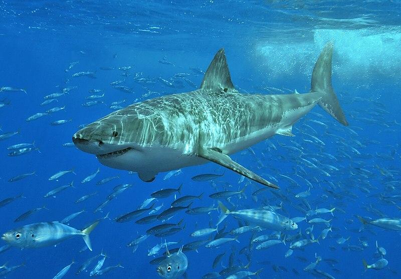 File:White shark.jpg