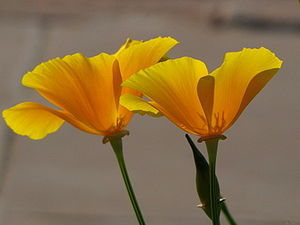 English: Yellow Poppy taken at Vijay Chowk, Ne...