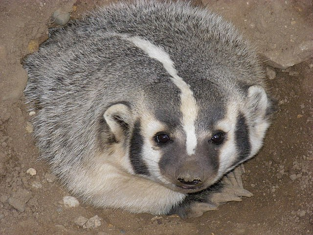 A female American Badger about four years old at the Oxbow Zollman Zoo in Olmsted County, Minnesota. By Jonathunder