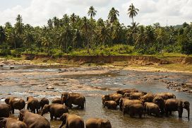 Bathing elephants. Udawalawe National Park. Sri Lanka