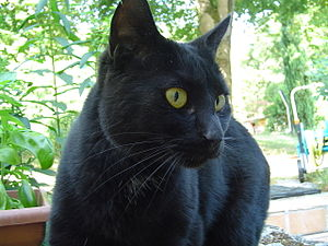 English: Black cat with white mark at the neck...