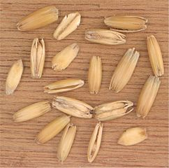 Oat grains