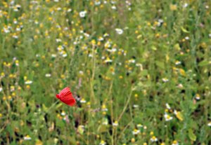 English: The lonely Poppy Near the entrance to...