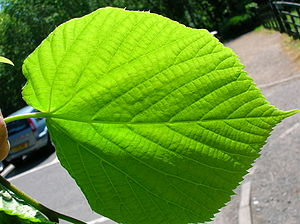 The leaf lower epidermis of Tilia × europaea T...