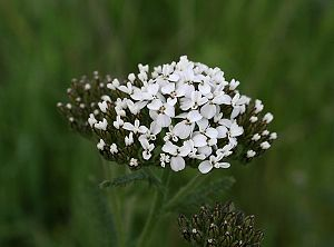 Yarrow (Achillea millefolium) found at Los Vaq...