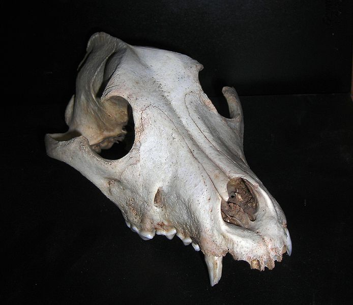 File:Dog Skull.JPG