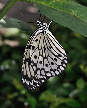 English: Paper Kite (Idea leuconoe), newly hat...