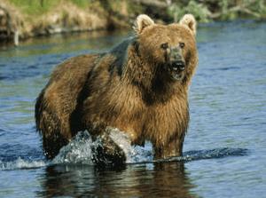 English: Kodiak brown bear at Dog Salmon Creek...