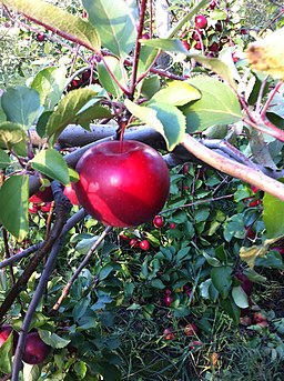 McIntosh apple tree and fruit