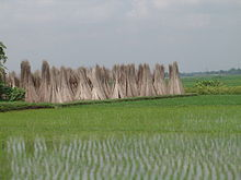 Brown jute sticks stacked in groups with small green saplings of rice in the foreground