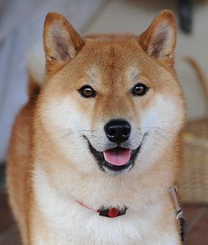 Dog Shiba Inu Taiki