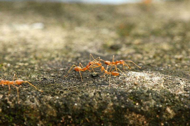 File:Weaver Ants.JPG