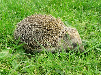 English: Southern White-breasted Hedgehog, Eri...